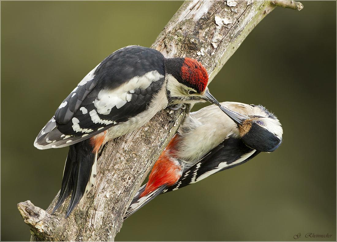 natur im focus mobilebuntspecht das weibchen f ttert einen jungvogel. Black Bedroom Furniture Sets. Home Design Ideas