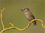 Kernbeisser-Coccothraustes_coccothraustes-23_05_2017.jpg