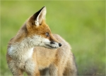 Rotfuchs-red_fox-Jungtier-07_08_2016.jpg